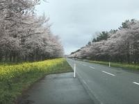 大潟村桜並木.jpg
