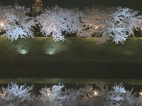 新城川の桜.JPG
