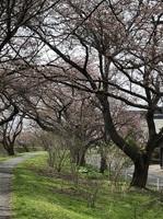 2021桜咲く.JPG
